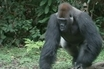 A Close Encounter With Western Lowland Gorillas