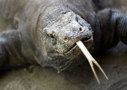In this photo taken on April 30, 2009, a Komodo dragon is seen ...