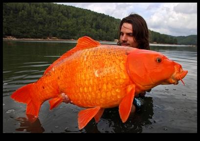 Goldfish Big As a Dog Caught! Capt.acd07ff037abd9ab9f3a761386762b80.jpeg?x=400&y=281&q=85&sig=t7zdz3