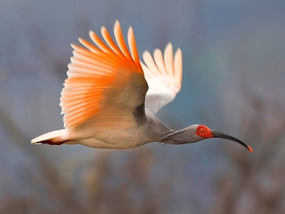 A picture of an endangered Asian crested ibis ...
