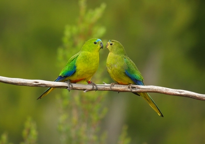 "This ""touching image"" of two orange-bellied parrots ..."