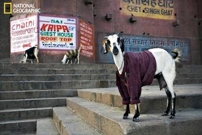 Goats, Varanasi, India