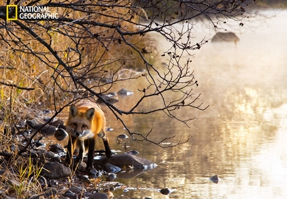 A curious red fox walks along the banks of the ...