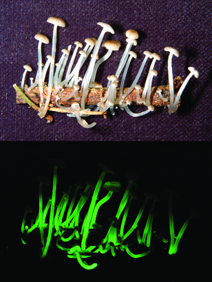 Bioluminescent Mushroom (Mycena luxaeterna) Common name: Eternal light mushroom.  Lighting up the top 10 is a luminescent fungus collected in São