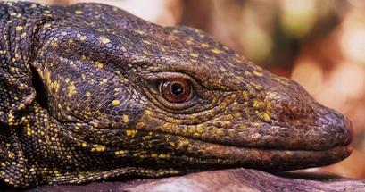 Monitor Lizard (Varanus bitatawa) Common name: ...
