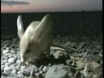 Shy 'jerboa' first on camera