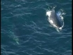 Making life harder for Japanese whalers
