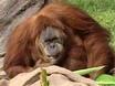 Orangutan Turns 55