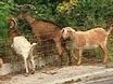 Rent-A-Goat