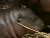 Baby Pygmy Hippo Debuts