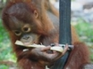 Nightline Webcast: Saving the Orangutans