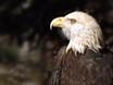 Hudson River Eagles