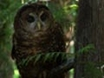New Threats to Spotted Owls