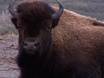 Bison Recovery