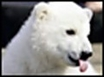 Knut the polar bear grows up