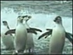 Climate change hits penguins