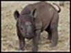 Poachers slay rare rhinos