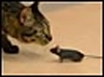 GM mouse confronts cat